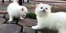 قط ابيض ذكر شهرين عيون ازرق