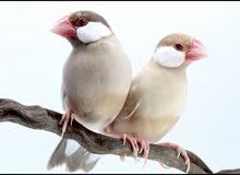 مطلوب زوج جاوا نفس اللون اللي في الصوره 71370706