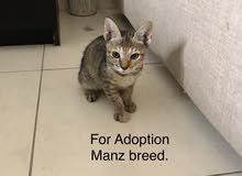 manz breed for adoption