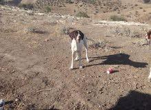 كلبه صيد شغاله للبيع عتجريب.   0777435229