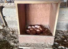 للبيع بيض دجاج كوشن العملاق