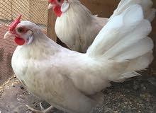 ديج ودجاجة بلتم ابيض فول الدجاجة ع وجه مبياض