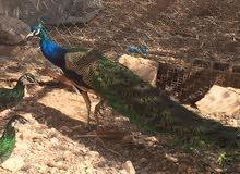 جوز طاووس