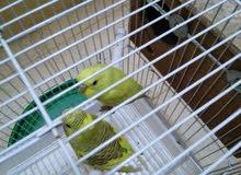 طيور هوقو والحب
