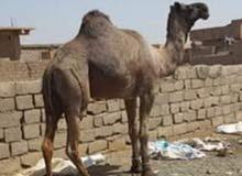 جمل للبيع الموقع السودان يوجد توصيل للكفرة والبيع بضمان