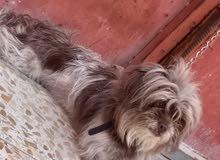 كلب ترير للبيع لعوب معة دفتر تليقحات