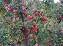 تفاح نوعية ممتازة