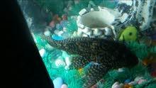 سمكه كناس حجم كبير