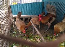 1 rooster. 4 hen. 1 ديك.  4 دجاج
