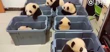 panda for sale