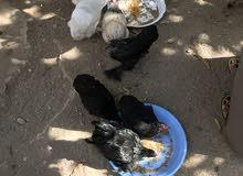 دجاج كوشي ( مصرول ) للبيع