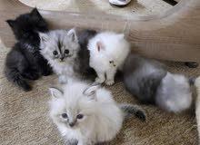 قطط صغار إناث وزكور الام مون فايس
