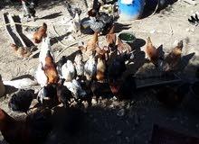 دجاج بلدي للبيع 100 الف الدجاجه