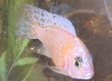 Fish Cichlid 20 each