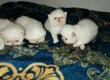 قطط بيور هيمالايا للبيع
