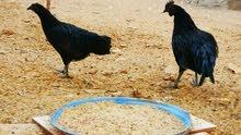 دجاج اندونيسي ايام سيماني للبيع