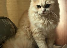 Pure Persian male cat for mating