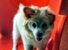 amrican eskimo puppy السعر قابل للنقاش