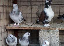 طيور حمام - البقعة و عين الباشا