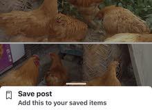 دجاج براهما ذهبي دبح ودجاجتين
