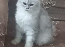 شانشيلا قطة ذكر