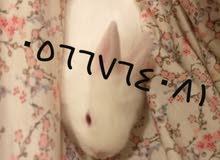 أرانب فرنسية صغيرة للبيع