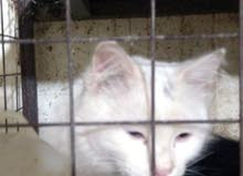 قطط شيرازي حجم كبير اسود وابيض