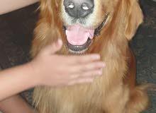 كلب جولدن للبيع جميع التطعيمات و صحه جيده