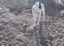 كلب هاسكي ذكر للبيع او البدل