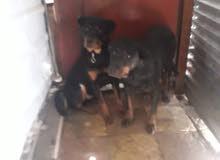 كلب روت وايلر عمر 6شهور وانثى روت وايلر امه للبيع او للبدل