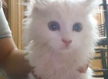 قطه انثى عمرها شهرين