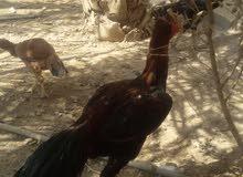 دجاج هراتي  رس  أصيل تركي وبلايمود