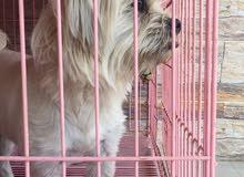 كلب فرينش تيرير للبيع