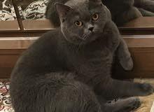 قط برتش نقي عمره 3 سنوات