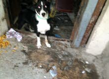 كلب هاسكي 6 اشهر للبيع