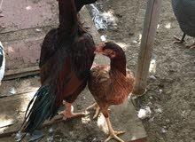 باكستانيات بيور اصل بدون تهجين ديكين و 12 دجاجه للبيع ب الجمله