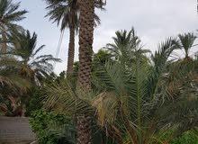 للبيع أرض زراعيه قائمه عبري *العراقي* مساحة الأرض *2796* متر تسقى من الفلج وسط م