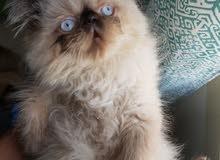 قط هملايا بيكي فيس تشوكليت بيور للبيع