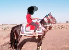 حصان بوراقه عمره خمسه سنين