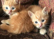 7قطط للبيع عمرهم شهر من نوع (تركي أنجورا)