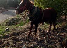 حراث مزارع حواكير فلل حدايق على الفرس  (عمان)