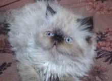 قطة هملاية زورار شوكلت