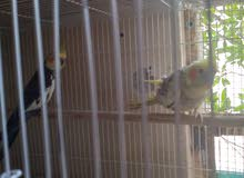 cocktail pair,2 finch pairs,jumbo Holland pair for sale