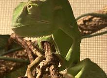 chameleon حرباء