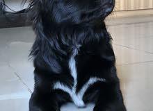كلب (Markiesje ) اقرا الوصف