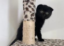 Very rare Chocolate scottish fold kitten (2months)