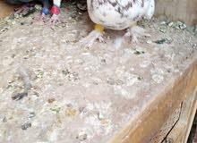حمام 6 حبات طيور حمام وجوز قراقطه مع بيض