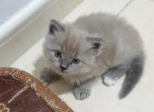 hamalian persian kitten ice grey color