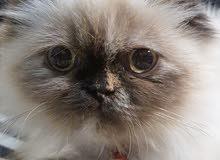قطة هامالايا  عمرها 7 أشهر