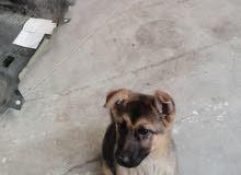 للبيع بسعر مغري كلب جيرمو شبرد العمر 5 شهور